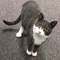 Domestic Shorthair Cat for adoption in Johnson City, Tennessee - Simpkin
