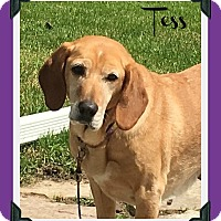 Labrador Retriever/Treeing Walker Coonhound Mix Dog for adoption in Elburn, Illinois - Tess