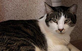 Domestic Shorthair Cat for adoption in Palm Springs, California - Duke Ellington