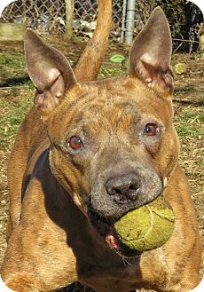 Pit Bull Terrier Mix Dog for adoption in West Babylon, New York - Clover