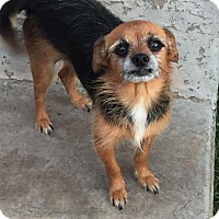 Chihuahua Mix Dog for adoption in Enid, Oklahoma - Caddie
