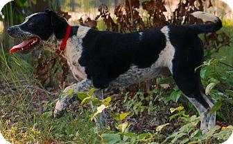 Australian Cattle Dog Dog for adoption in Pegram, Tennessee - PARKER