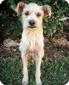 Terrier (Unknown Type, Small) Mix Dog for adoption in Fredericksburg, Texas - Pocus