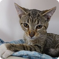 Domestic Shorthair Kitten for adoption in Batavia, New York - Russell