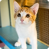 Domestic Shorthair Kitten for adoption in Leander, Texas - Gillis