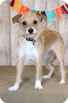 Terrier (Unknown Type, Small) Mix Puppy for adoption in Waldorf, Maryland - Annie ADOPTION PENDING