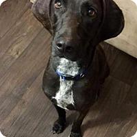 Adopt A Pet :: CEDAR - Chandler, AZ