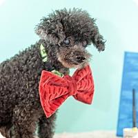 Adopt A Pet :: Pierre - Scarborough, ME