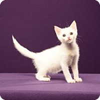 Adopt A Pet :: Freezy (Kitten) - Cary, NC
