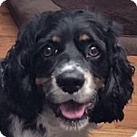 Adopt A Pet :: King - Newington, VA