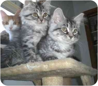 Maine Coon Cats Rescue Ontario