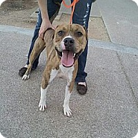 Adopt A Pet :: Striker - Scottsdale, AZ