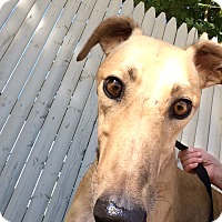 Adopt A Pet :: Shane - Swanzey, NH
