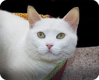 American Shorthair Cat for adoption in Rochester, New York - Alaska