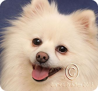 pomeranian rescue oregon portland or pomeranian meet mikey a dog for adoption 9212