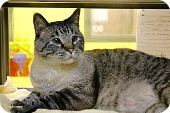 Siamese Cat for adoption in Chattanooga, Tennessee - Puck (declawed)