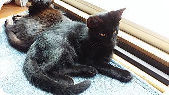 Domestic Shorthair Kitten for adoption in Manhattan, Kansas - Felix