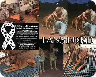 Black Mouth Cur Mix Dog for adoption in Hearne, Texas - Lansford aka Lani