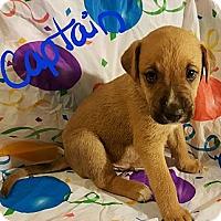 Adopt A Pet :: Captain - Niagra Falls, NY
