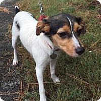 Adopt A Pet :: Nutter Butter - Memphis, TN
