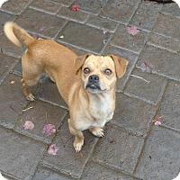 Adopt A Pet :: Arlo - Salem, OR