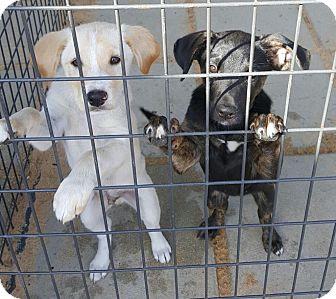 Labrador Retriever Mix Puppy for adoption in Mary Esther, Florida - Venus