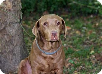 Labrador Retriever Dog for adoption in richmond, Virginia - ROXY