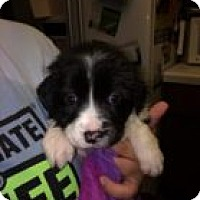 Adopt A Pet :: Daisy - Reno, NV