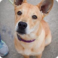 Adopt A Pet :: Akira - DFW, TX