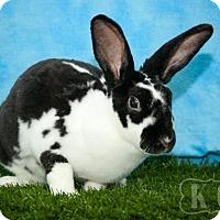 Adopt A Pet :: Falina - Pflugerville, TX