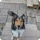 Adopt A Pet :: Shiloh