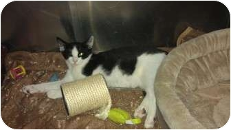 Domestic Shorthair Kitten for adoption in Staten Island, New York - Jack