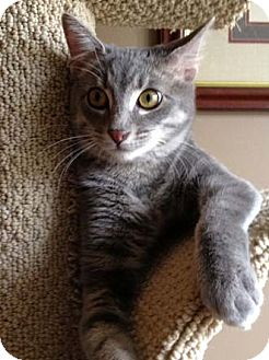 Domestic Shorthair Kitten for adoption in Merrifield, Virginia - Thomas
