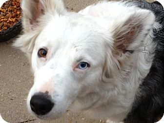 Australian Shepherd/Australian Cattle Dog Mix Dog for adoption in Gustine, California - BETSIE