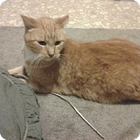 Adopt A Pet :: Orange Kitty - Chesterfield, VA