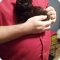 Adopt A Pet :: kitten #3/bagheera - McDonough, GA