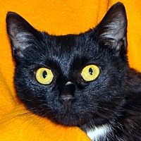 Domestic Shorthair Cat for adoption in Renfrew, Pennsylvania - Betsy