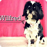 Adopt A Pet :: *WILFRED - Sugar Land, TX