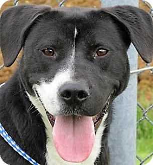 Border Collie/Labrador Retriever Mix Dog for adoption in Germantown, Maryland - Allister