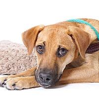 Adopt A Pet :: Apache - Sudbury, MA