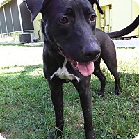 Labrador Retriever/Shepherd (Unknown Type) Mix Dog for adoption in Boca Raton, Florida - Bogart