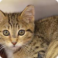 Domestic Shorthair Kitten for adoption in Atlanta, Georgia - Tim Tim161028