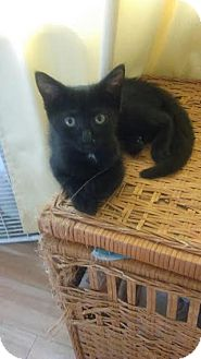 Domestic Shorthair Kitten for adoption in Harrisburg, Pennsylvania - Ramona (baby girl)