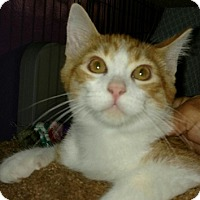 Adopt A Pet :: Cheez-it-4 MONTHS - Naperville, IL