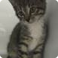 Domestic Shorthair Kitten for adoption in Fairfax, Virginia - Austin