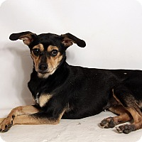 Chihuahua/Miniature Pinscher Mix Dog for adoption in St. Louis, Missouri - Mali Chi Min Pin