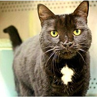 Domestic Shorthair Cat for adoption in Herndon, Virginia - Precious
