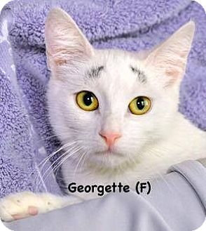 Domestic Mediumhair Kitten for adoption in West Orange, New Jersey - Georgette