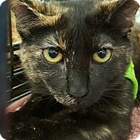 American Shorthair Kitten for adoption in Lyons, Illinois - Edmund and Faustina