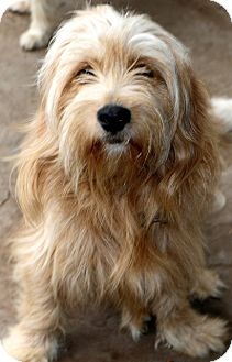 Tibetan Terrier Mix Dog for adoption in Bedminster, New Jersey - Buick